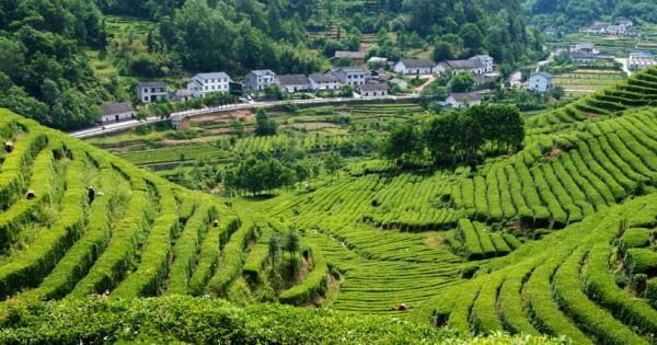 caracteristicile ceaiului verde)